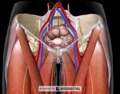 Vascular Anatomy of the Femoral Area